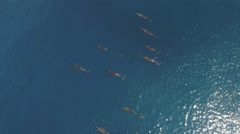 School of dolphins - aerial shot in open sea Stock Footage