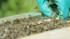 4K Close up of bee keeper lifting out honeycomb from the hive to take a look Stock Footage