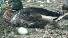 Duck Bird and EGG Stock Footage