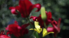 Yellow and red flowers Asiatic lilies on a suburban area Stock Footage