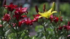 Yellow and red, pink and orange Asiatic lilies flowers on a suburban area Stock Footage