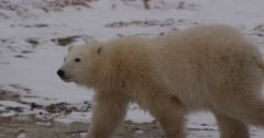 Close tracking polar bear cub is cute and walks through frame Stock Footage