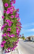 Hanging pink spanish daisies on wall near street Stock Photos