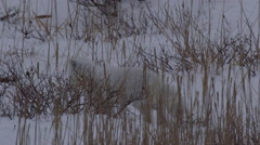 Arctic fox in white coat searches for voles in wind blown snowy grass Stock Footage