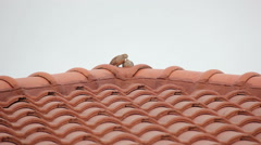 Relaxing Couple Zebra Dove On Red Roof Footage Stock Footage