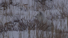Arctic fox in winter phase sits in wind blown snow listening for voles Stock Footage