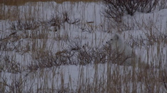 White arctic fox rolls in snow and then walks out of frame in windy grass Stock Footage