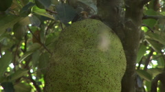 A spider hangs in its web in front of a Jackfruit tree. Stock Footage