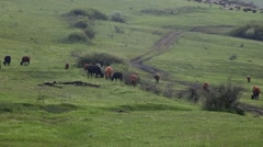 Cows grazing on a mountain plateau Stock Footage