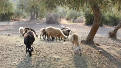 Greece Thassos, animal husbandry, herd of sheep grazing eat fallen olives Stock Footage