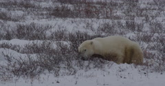 Sleepy polar bear lazes in snowy willows of arctic uses rock as pillow Stock Footage