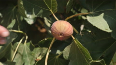 Fresh fig picked from tree. Stock Footage