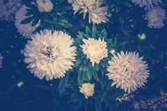 White Aster Flowers Stock Photos
