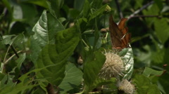 A colorful butterfly sits and flaps its wings on a plant in the Florida Stock Footage