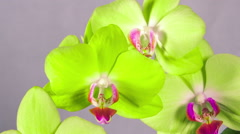 Time Lapse - Blooming White Orchid Phalaenopsis Flower with Black Background Arkistovideo