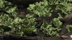 A baby alligator eats a fish in a Florida Everglades swamp. Stock Footage