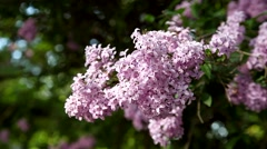 Lush branch with flowers of lilac Stock Footage