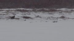 Cross fox dashes through falling snow across willows and ice on tundra Stock Footage