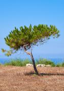 A lonely pine shaped by the wind growing on the scorched earth on the Mediter Stock Photos
