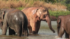 Elephants walk in the water as a man splashes water on them with a bucket. Stock Footage