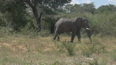 Driving Up To A Wild African Elephant Hand Held Safari Stock Footage