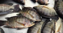 Fresh tilapia fish breathe in the market. Stock Footage