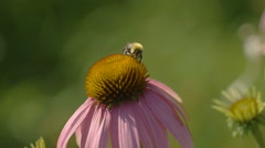 Bumblebee on a Echinacea flower Stock Footage