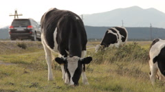 Three cows grazing by a road. A cross-over passing behind them Stock Footage