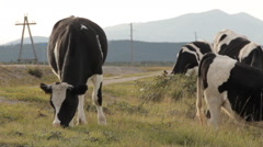 Three cows grazing by a road. One being in the center Stock Footage