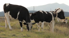 Four cows grazing by a road. A calf moving out of the frame Stock Footage
