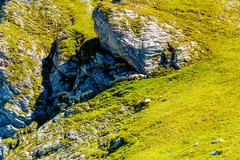 Mountain alpine pastures in the Slovenian. Flocks of sheep in the mountains Stock Photos