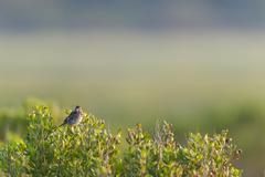 Song Sparrow catch light Stock Photos