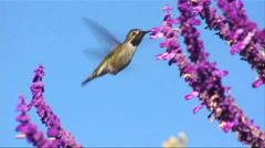 A humming bird gathers nectar from purple flowers. Stock Footage
