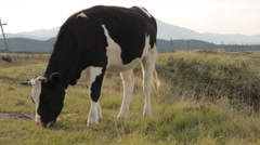 A cow grazing by a road. Foreground Stock Footage