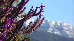 Close up of small purple mountain flowers. Stock Footage