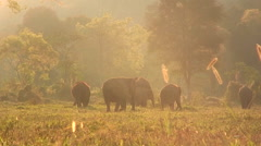 A couple of people walk through a field with a herd of elephants. Stock Footage