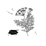 Caraway plant vector hand drawn illustration. Isolated spice obj Stock Illustration