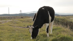 A cow enthusiastically chewing on grass in the foreground Stock Footage