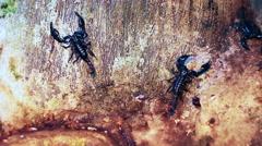 Scorpions crawling Stock Footage