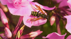 Wasp on pink phlox flowers Stock Footage