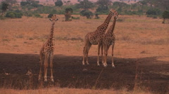 Three giraffes stand on the plain, chewing and looking around. Stock Footage