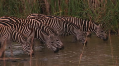 A herd of zebras drink at a waterhole, one raises his head. Stock Footage