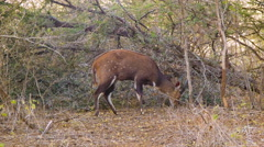 Bushbuck Male Grazing in Natural African Habitat Stock Footage