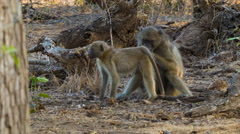 Baboons Eating Ticks in Natural African Habitat Stock Footage