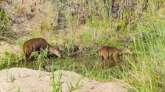 Bushbuck Pair Feeding in African Marsh Stock Footage