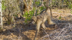 African Wildlife Baboons Followed by Warthogs Stock Footage