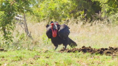 African Ground Hornbill Feeding on Ground Stock Footage