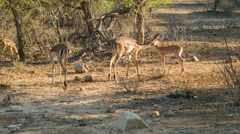 Young Impala Antelope in African Morning Sun Stock Footage