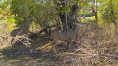 Famale Kudus Eating Under Tree in Kruger National Park Stock Footage