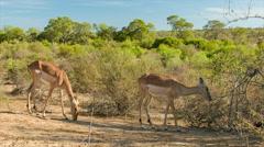 Impala Herd in Natural Green African Savannah Habitat Stock Footage